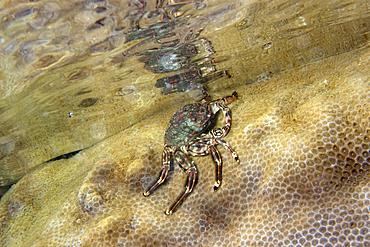 Tidal crab, Plagusia depressa, crawling over encrusting zoanthid, Palythoa caribaeorum, St. Peter and St. Paul's rocks, Brazil, Atlantic Ocean