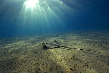 Southern Stingray, Dasyatis americana, and sun rays, Fernando de Noronha, Pernambuco, Brazil