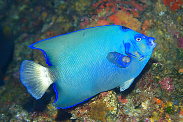 Queen angelfish, Holacanthus ciliaris, endemic and rare blue morphotype, St. Peter and St. Paul's rocks, Brazil, Atlantic Ocean