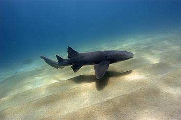 Nurse shark, Ginglymostoma cirratum, Fernando de Noronha, Pernambuco, Brazil, Atlantic Ocean