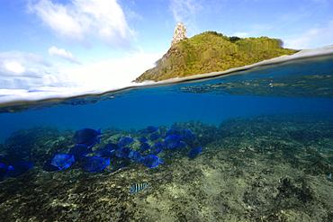 Split image of schooling blue tangs, Acanthurus coeruleus, and Pico Hill, Fernando de Noronha, Brazil, South Atlantic