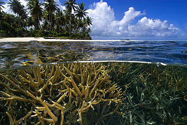 Split image of staghorn coral, Acropora sp., and island, Truk lagoon, Chuuk, Federated States of Micronesia, Pacific