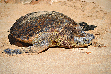 Green sea turtle, Chelonia mydas, at Laniakea Beach, North Shore of Oahu, Hawaii, USA