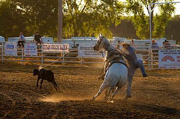 Cowboy competes at rodeo calf-roping event.