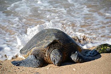 Green sea turtle, Chelonia mydas, rests in the sand of Ho'okipa Beach, Maui, Hawaii, USA