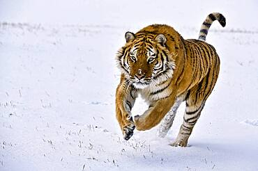 Siberian tiger charges through the snow.