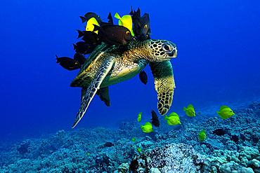 Green sea turtle, Chelonia mydas, gets cleaned by yellow tangs, Zebrasoma flavescens and lined bristletooth, Ctenochaetus striatus, Kailua-Kona, Hawaii, (N. Pacific)