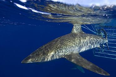 Galapagos sharks, Carcharhinus galapagensis, Oahu, Hawaii