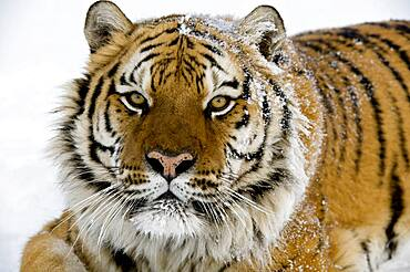 Relaxed Siberian tiger portrait.