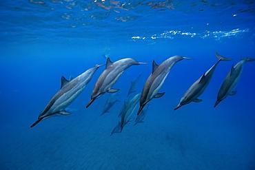 Spinner dolphins Stenella longirostris, Big Island, Hawaii, USA