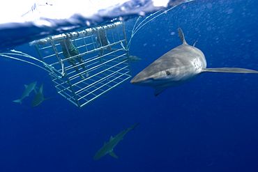 Thrill seekers experience cage diving with Galapagos sharks, Carcharhinus galapagensis, North shore, Oahu, Hawaii, USA