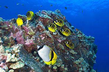 Racoon butterflyfish, Chaetodon lunula, and lined butterflyfish, Chaetodon lineolatus, Kailua-Kona, Hawaii