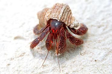 Hermit crab, Coenobita perlatus, Bird I., Mili, Marshall Islands (N. Pacific).