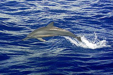 Spinner dolphin, Stenella longirostris, Namu atoll, Marshall Islands (N. Pacific).MID0042