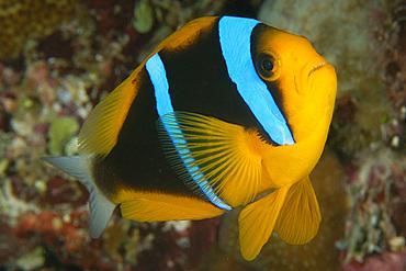 Orange-finned anemonefish, Amphiprion chrysopterus, and Merten's sea anemone, Stichodactyla mertensii, Namu atoll, Marshall Islands (N. Pacific).