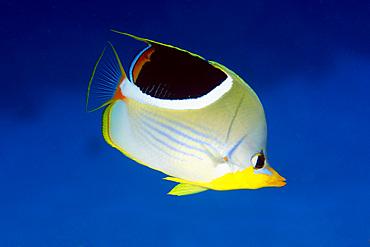 Saddled butterflyfish, Chaetodon ephippium, Namu atoll, Marshall Islands (N. Pacific).