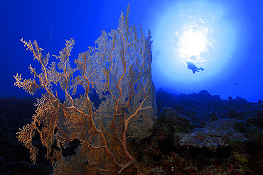 Fan coral, Subergorgia sp., and diver silhouette against he sun, Namu atoll, Marshall Islands (N. Pacific).