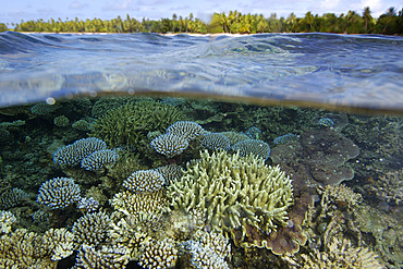 Over under image of coral reef, Acropora spp., and trees at Majikin Island, Namu atoll, Marshall Islands (N. Pacific).