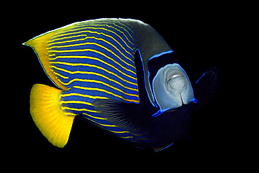 Emperor angelfish, Pomacanthus imperator, Namu atoll, Marshall Islands (N. Pacific).
