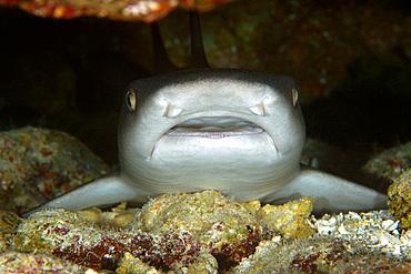 Whitetip reef shark, Triaenodon obesus, resting in cave, Namu atoll, Marshall Islands (N. Pacific).