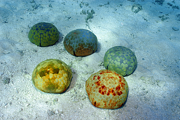 Cushion star, Culcita novaguineae, skin texture, Ailuk atoll, Marshall Islands, Pacific