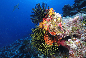 Red (Lace) coral, Distichopora violacea, feather stars, and juvenile gray reef shark, Carcharhinus amblyrhynchos, Ailuk atoll, Marshall Islands, Pacific