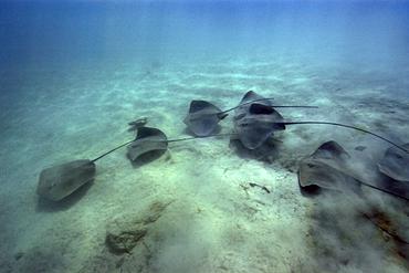 Large group of pink whipray or Tahitian stingray, Himantura fai, Rongelap, Marshall Islands, Micronesia