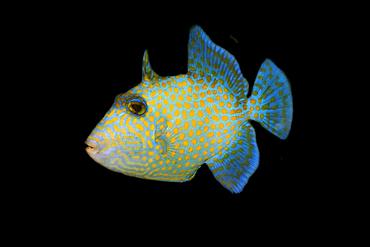 Juvenile blue triggerfish, Pseudobalistes fuscus, Rongelap, Marshall Islands, Micronesia