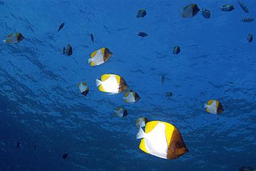Aggregation of pyramid butterflyfish, Hemitaurichthys polylepis, Siaes drop-off, Palau, Micronesia.