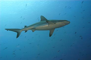 Grey reef shark, Carcharhinus amblyrhynchos, Blue corner, Palau.