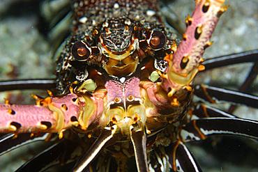 Stripe-leg spiny lobster, Panulirus femoristriga, eye and rostrum detail, Short drop-off, Palau, Micronesia.