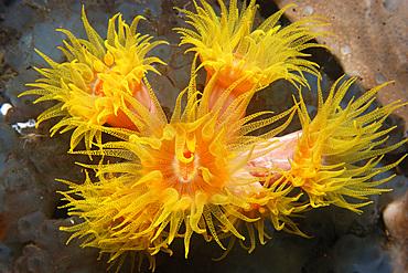 Orange cup coral, Tubastrea faulkneri, Dumaguete, Negros Island, Philippines.