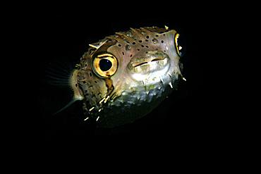Balloonfish, Diodon holocanthus, at night, Dumaguete, Negros Island, Philippines.