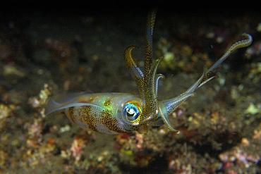Bigfin reef squid, Sepioteuthis lessoniana, Dumaguete, Negros Island, Philippines.