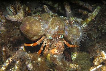 Anemone hermit crab, Dardanus pedunculatus, Dumaguete, Negros Island, Philippines.