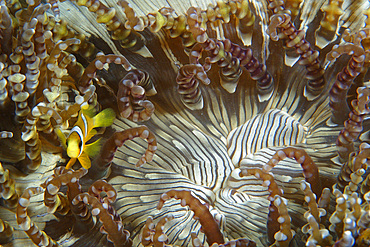 Anemone fish, Amphiprion sp., Dumaguete, Negros Island, Philippines.