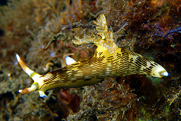 Nudibranch, Atlantis house reef, Dumaguete, Negros Island, Philippines.