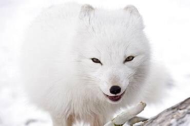 Arctic Fox (Vulpes lagopus), Canada.