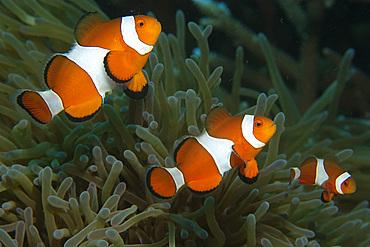 Family of false clown anemone fish, Amphiprion ocellaris, seeking refuge in sea anemone, Masaplod, Dumaguete, Negros Island, Philippines.