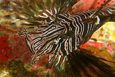 Common lionfish, Pterois volitans, blends in with a variety of soft corals and sponges, Cars, Dumaguete, Negros Island, Philippines.