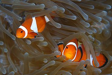 False clown anemone fish, Amphiprion ocellaris, Dauin, Dumaguete, Negros Island, Philippines.