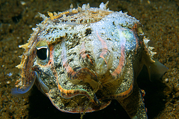 Needle cuttlefish, Sepia aculeata, front view at night, Dumaguete, Negros Island, Philippines.