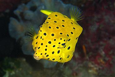 Yellow boxfish, Ostracion cubicus, juvenile, Dumaguete, Negros Island, Philippines.