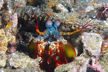 Mantis shrimp, Odontodactylus scyllarus, Dauin, Dumaguete, Negros Island, Philippines.