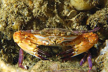 Swimming crab, Charybdis acutifrons, Gato Island, Cebu, Philippines.