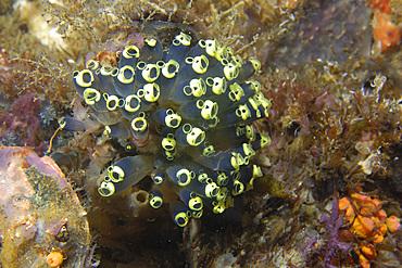 Ascidian colony, Clavelina robusta, Gato Island, Cebu, Philippines.