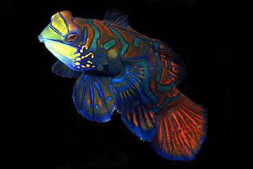 Mandarinfish, Synchiropus splendidus, male, Malapascua, Cebu, Philippines, Visayan Sea.