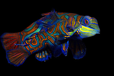 Pair of mandarinfish, Synchiropus splendidus, mating, Malapascua ,Cebu, Philippines, Visayan Sea.