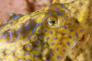 Thornback cowfish, Lactoria fornasini, Sabang wreck, Puerto Galera, Mindoro, Philippines.