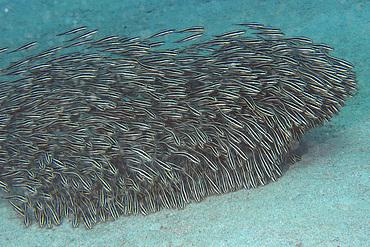 Juvenile striped catfish, Plotosus lineatus, schooling and feeding on sandy bottom, Puerto Galera, Mindoro, Philippines.